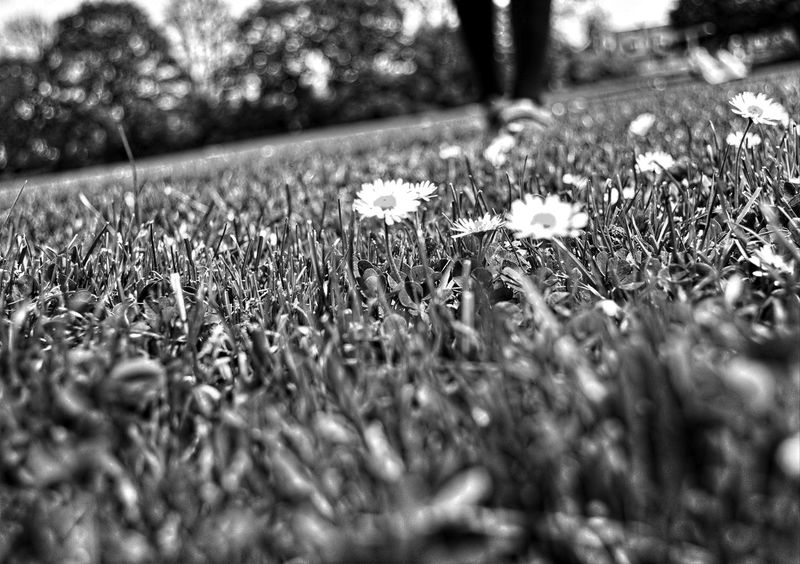 daisies field Beauty In Nature Black & White Black And White Blackandwhite Close-up Daisies Daisies Between Grass Daisies Closeup Daisies Flowers Daisy Flower Day Field Grass Growth Margaritas Meadow Meadow Flowers Medow Flower Nature No People Outdoors Wild Flower Beauty Wild Flowers Wild Flowers And Grasses Wildflower Meadow