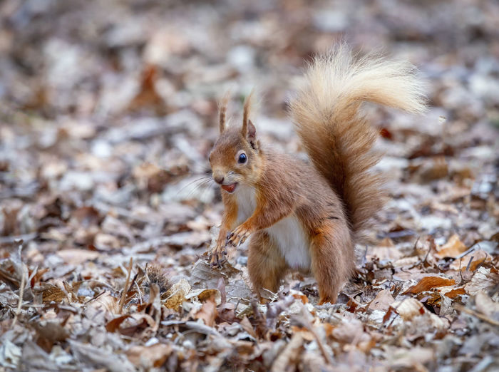 Portrait of red squirrel on field