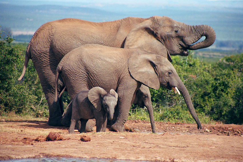 Africa Africa Wildlife Elephant Family Elephants Elephants,National Park,Wild Life, Wild , Mammals, Herbivores, Pachyderm,Zoo,National Park, Nature_collection South Africa Young Elephants Travel Photography