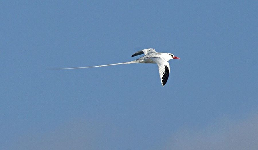 red billed tropic bird Bird Flying One Animal Animal Themes Animals In The Wild Nature Galapagos Islands Ecuador Nature Photography Birds_collection Bird Photography Animals In The Wild