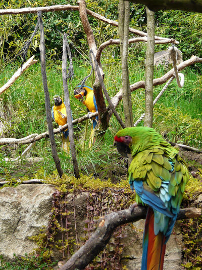 Ara Theme Arara Ara Militaris Ararauna Aras  Parrot Eating Ara Eating Eating Orange Beauty In Nature Gold And Blue Macaws Green Color Macaws Militaris Multi Colored Loros Outdoor Perching Branch Vertical Vertical Photography day Yellow Yellow Touch Papagaios Papagayo ❤️ Wildlife