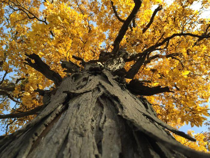 IPS2015Fall tree, autumn, leaves, yellow
