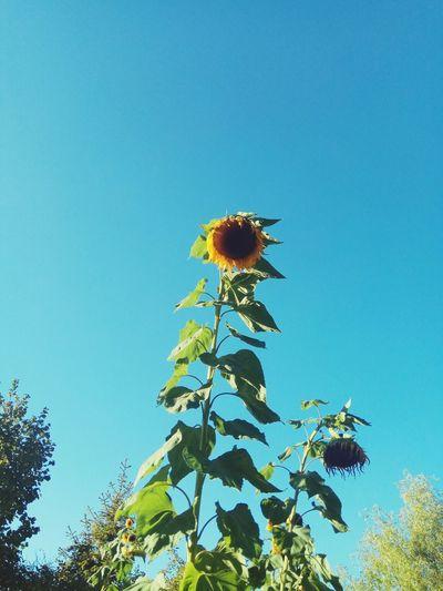 Sunflower Tree