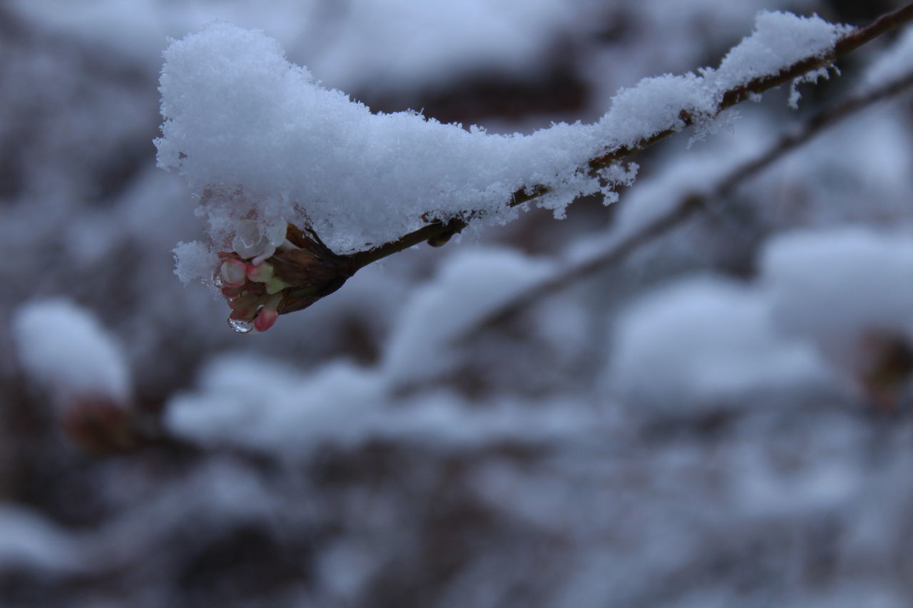 cold temperature, winter, snow, weather, nature, white color, frozen, beauty in nature, ice, outdoors, day, fragility, close-up, tree, branch, no people, focus on foreground, frost, growth, freshness