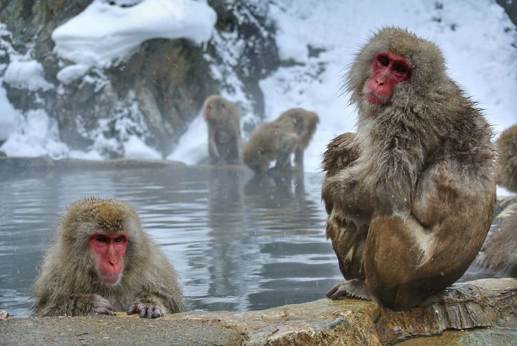 Monkeys on a rock in snow