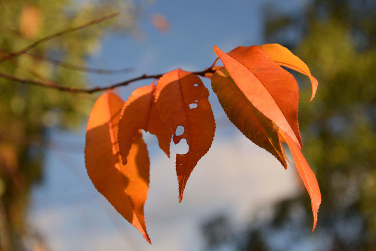 Close-Up Of Orange Leaves On Plant During Autumn