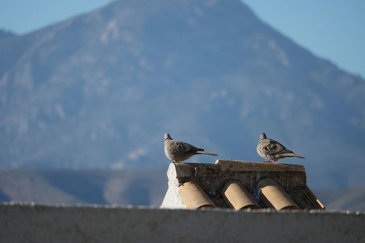 Low angle view of collared dove perching on roof against mountain