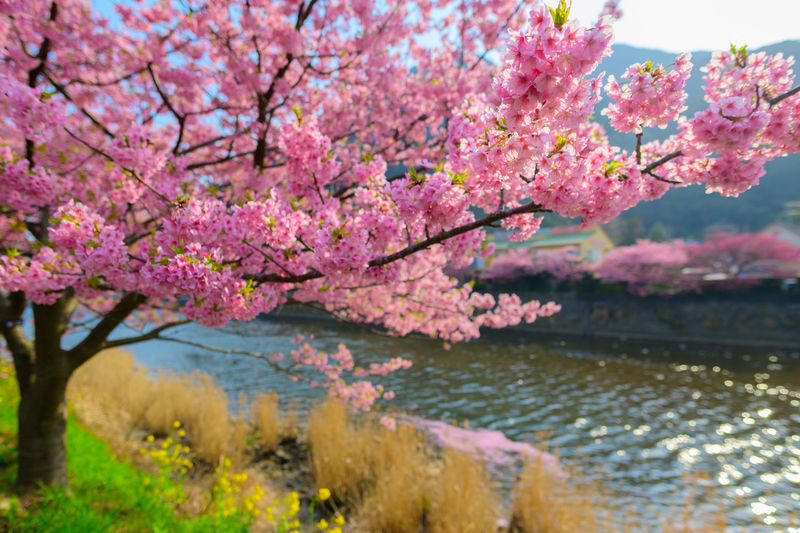 Pink cherry blossom tree by lake