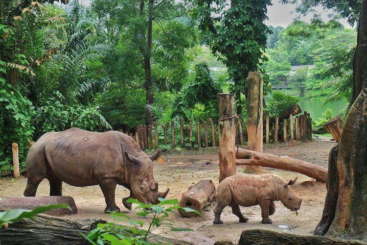 SaveTheRhinos Endangered  Savetherhinos Endangered Animals Husk Wildlife Tree Rhinoceros Standing Safari Animals Animal Themes Sky Animal Trunk Tusk Infant Young Animal Animal Family Vulnerable Species