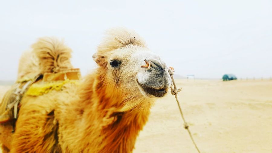 Animal NOMAD Mongolia Camel Livestock Brown Animal Themes Ride Beauty In Nature In Wind By Phone Camera EyeEm Selects Beach Sand Lion - Feline Close-up Sky Working Animal Domestic Cattle Livestock Tag Animal Eye Saddle Desert
