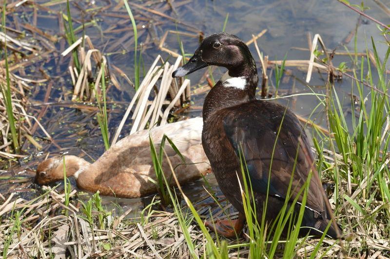 Mallard duck on lakeshore