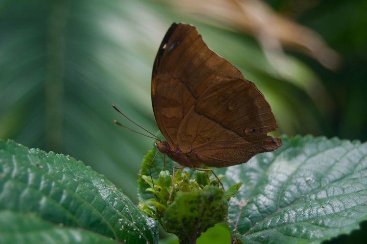 Animal Themes Animal Wildlife Animals In The Wild Beauty In Nature Butterfly - Insect Close-up Day Fragility Green Color Insect Leaf Nature No People One Animal Outdoors Plant