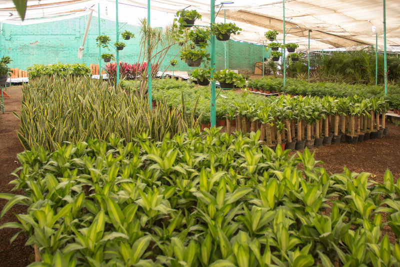 Vivero Palo De Brasil Plant Agriculture Green Color Greenhouse Nature Organic Gardening Environment Beauty In Nature No People Plant Nursery Plantation Landscape Day Growth