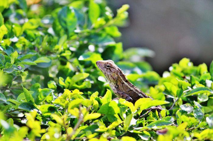Alligator lizard in greeny bush sunny day Lizard Lizard Nature Lizard❤ Alligator Lizard Wildlife & Nature Wild Life Lizard Cuteness