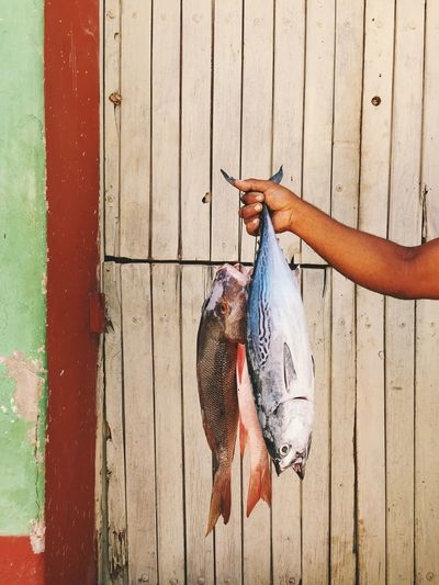 Cropped image of hand holding fishes against wooden wall