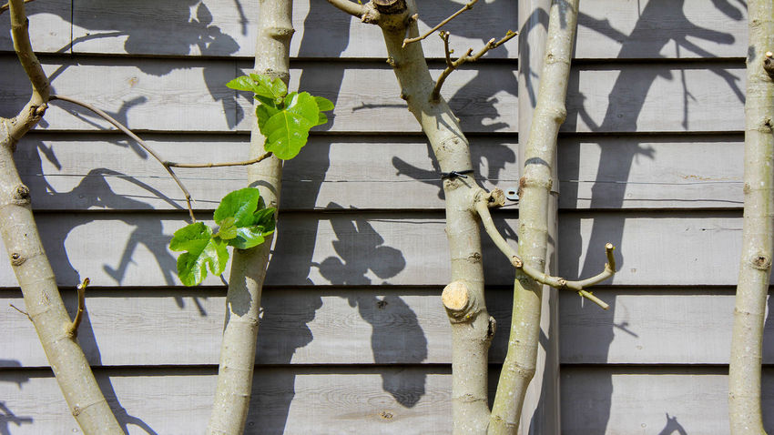 Close-up Day EyeEmNewHere Fig Tree Fragility Freshness Green Color Grey Growth Ivy Leaf Nature No People Outdoors Planks Plant Pruned Pruned Trees Shed