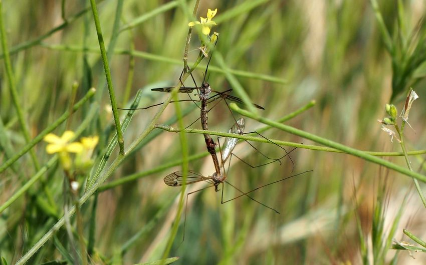 Mosquitoes Mating