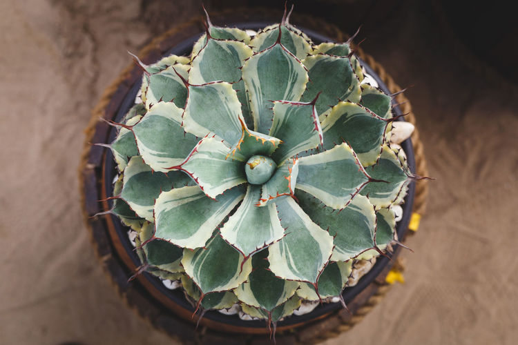 Directly above shot of potted succulent plant on floor