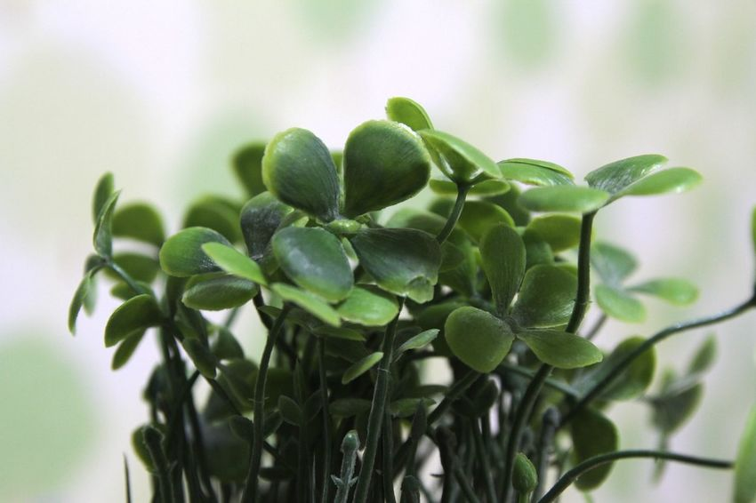 Artificial Flower Fourleafclover🍀 Leaf Green Color Plant Nature No People Close-up Growth Day Indoors  Beauty In Nature Freshness