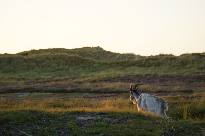dutch land goats at sunset in dunes Animals In The Wild Clear Sky Dunes Grass Landscape Photography Sunlight Animal Themes Daylight Domestic Animals Dune Dunescape Dutch Land Goat Dutch Landscape Dutch Landscape Fields Flare Goat Life Goats Life Landscape #Nature #photography Landscape Nature Photography [ Mammal No People Outdoors Sunset