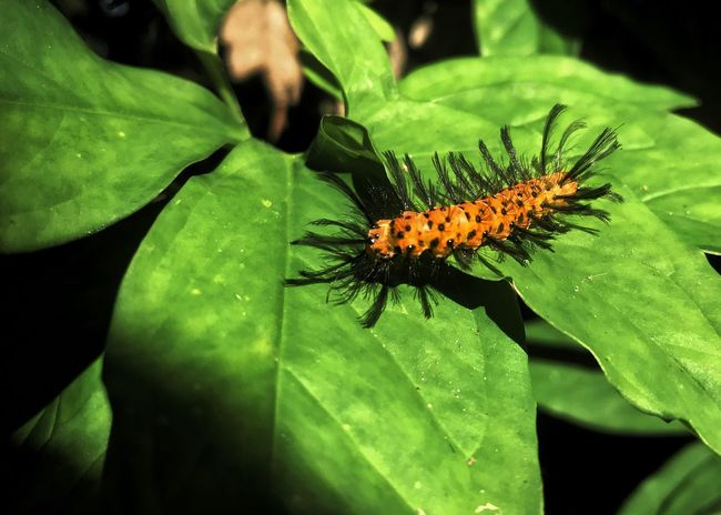 Oleander caterpillar. Oleander Caterpillar Insect Leaf Animal Themes Animals In The Wild One Animal Orange Insect Great Hair Plant Close-up Animal Wildlife Horizontal