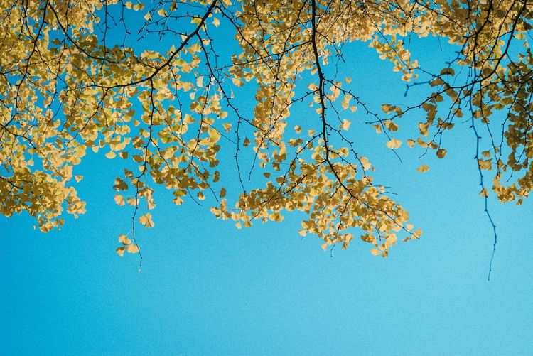 Blue Branch Nature Tree Beauty In Nature Growth No People Clear Sky Sky Low Angle View Outdoors Day Flower Close-up Freshness
