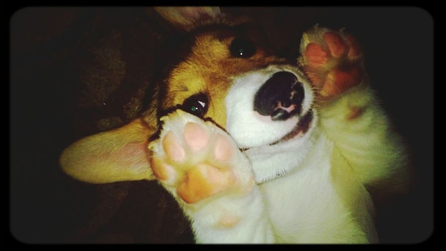 Cute Pets Pippin, Corgi, Dog