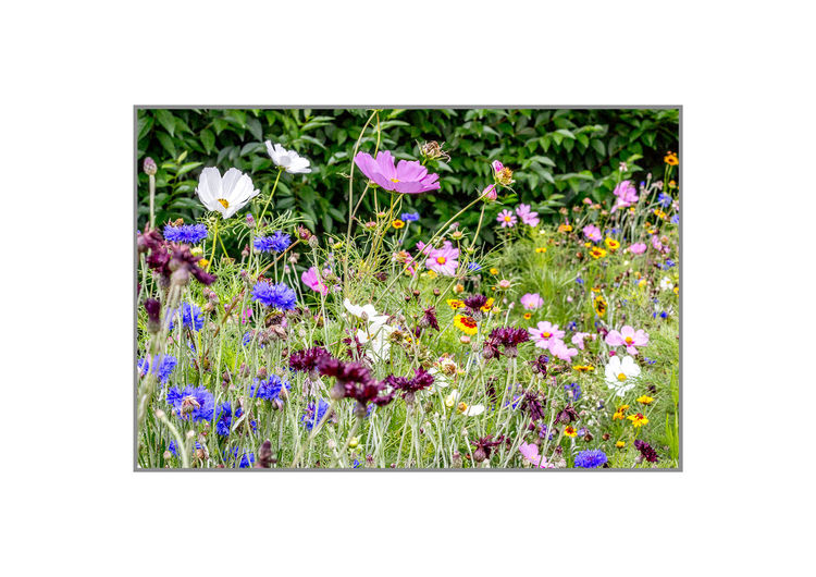 wild flowers Mundesley Beauty In Nature Blooming Close-up Day Flower Flower Head Flowerbed Fragility Freshness Growth Mundseley Nature No People Outdoors Plant Purple Spring Summer White Background