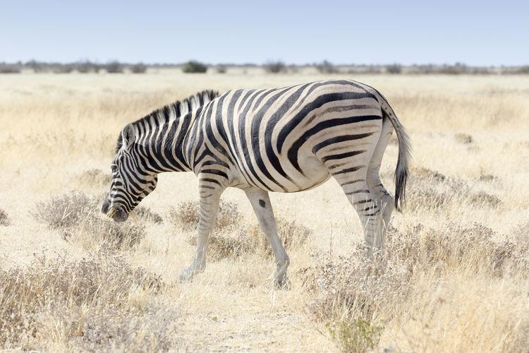 A zebra in