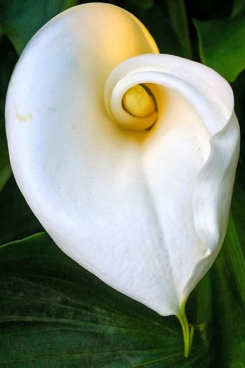 Close-up White Color Spring Flowers In My Garden Flowers Springtime Blossom Beauty In Nature Flower Spring Time Calla Lilies Calla Lillies
