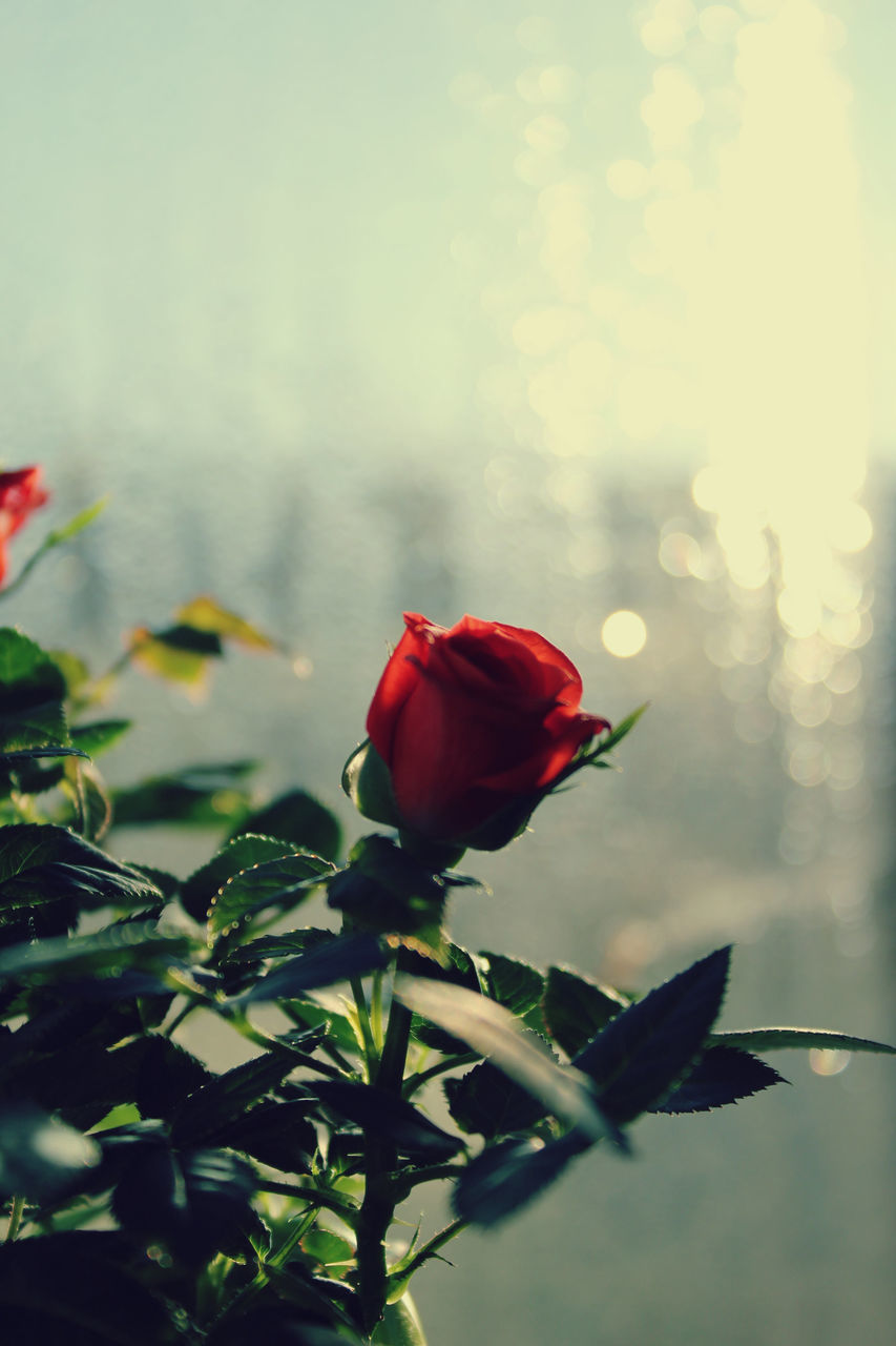 flower, petal, fragility, beauty in nature, nature, freshness, red, growth, rose - flower, plant, flower head, no people, blooming, close-up, tulip, outdoors, day