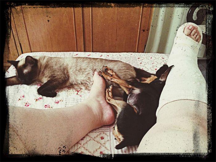 Pinscher Miniature Pinscher Siamese Siamese Cat My Loves Partners Mycure Mydog Mycat