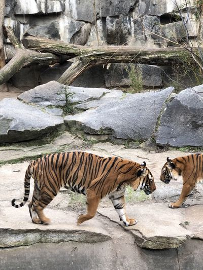 Side view of tiger on rock at zoo