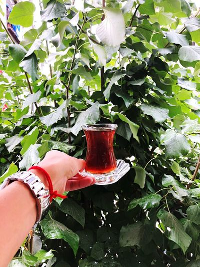 Turkishcay Human Hand Human Body Part Hand Plant One Person Real People Growth Green Color Holding Nature Lifestyles Drink Refreshment Personal Perspective