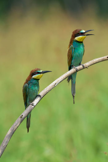 Animal Themes Avian Beauty In Nature Bee-eater Bird Blue Close-up Day Focus On Foreground Green Color Nature No People Outdoors Perching Selective Focus Wildlife