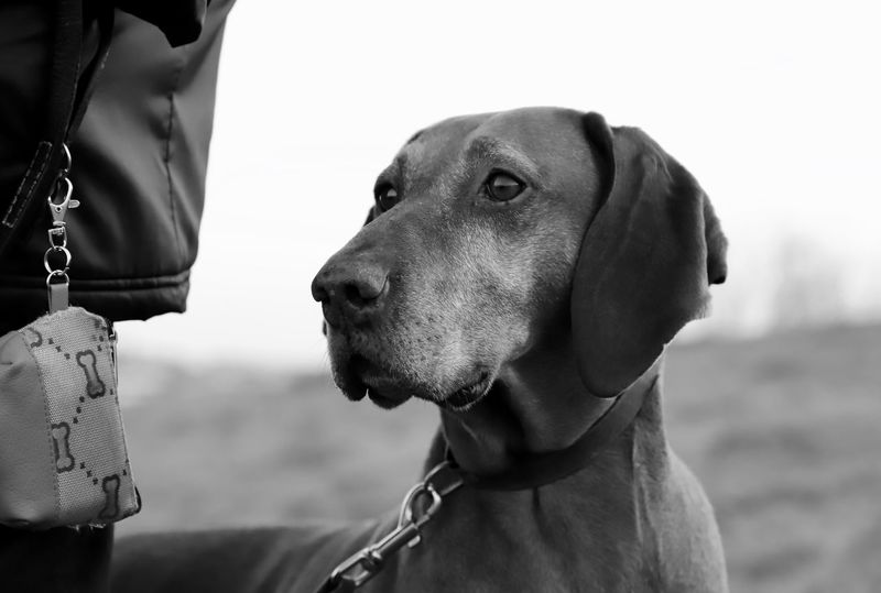 Dogs Of EyeEm Hungarian Vizsla Nana's Life Portrait Of A Dog Storytelling Vizsla Animal Themes Black And White Portrait Dog Dog Love Dog Portrait Dogslife Domestic Animals Friendship Magyar Vizsla One Animal Outdoors Pets Together Togetherness Vizsla Life Walk With The Dog Watching