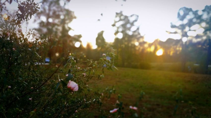 Fall Flowers at Sunset 💖 -- Close-up Macro Macro_collection Selective Focus Focus On Foreground Sunset Sunset_collection Bokeh Lens Flare Sunlight Sun Sun_collection Nature Beauty In Nature No People Tranquil Scene Tranquility Scenics Flower Fall Autumn Growth Plant Wildflower Outdoors