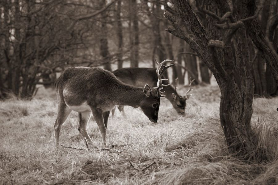 Bnw_collection Stag Monochrome Animals In The Wild Animal Wildlife Animal Themes Nature One Animal Tree No People