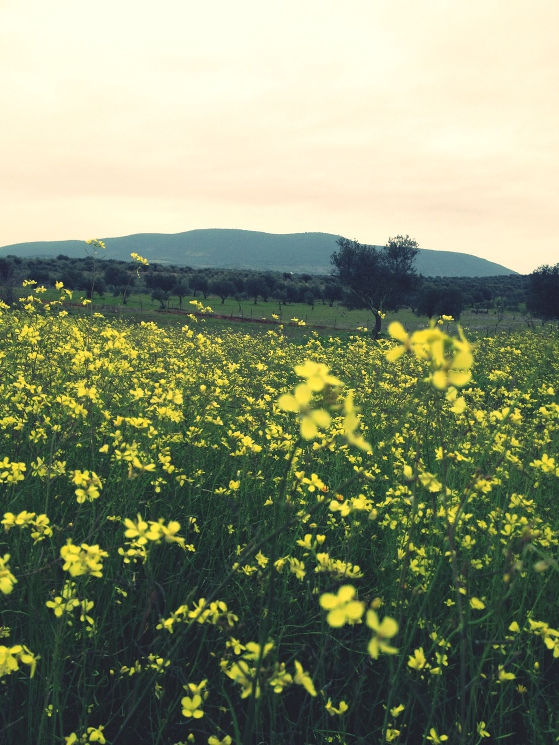 flower, yellow, beauty in nature, freshness, field, growth, landscape, nature, rural scene, tranquil scene, agriculture, fragility, scenics, abundance, sky, tranquility, mountain, blooming, plant, farm