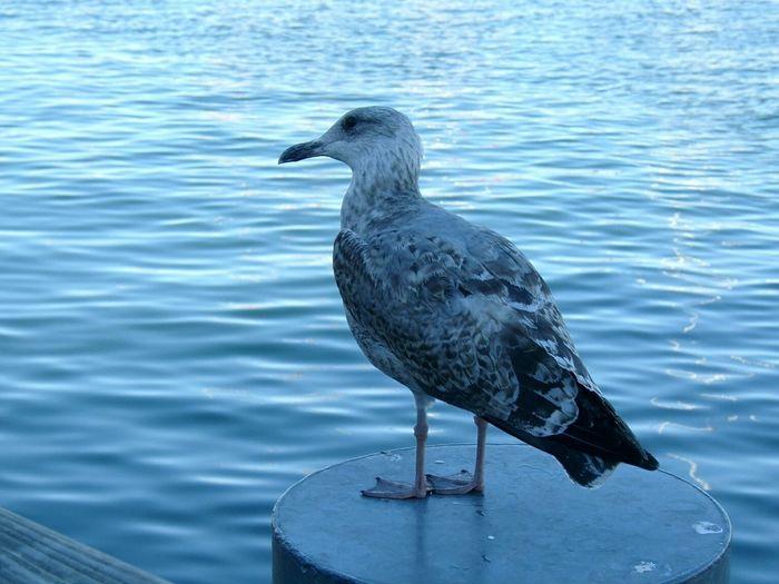 Möwe Seemöwe Gull Seagull Ostsee Balticsea Warnemünde Rostock Vogel Bird
