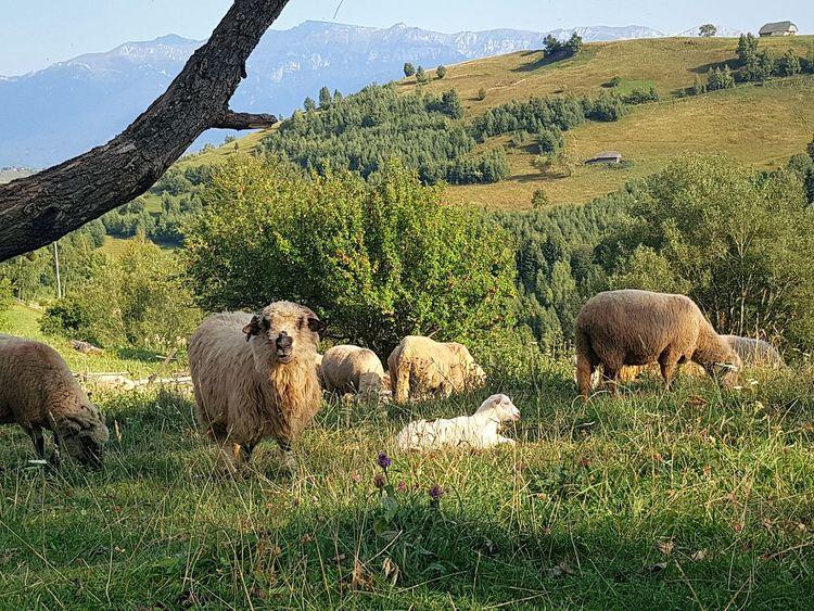 Village Rural Mountain Lifestock Tree Grass Flock Of Sheep Sheep Herd Lamb Livestock