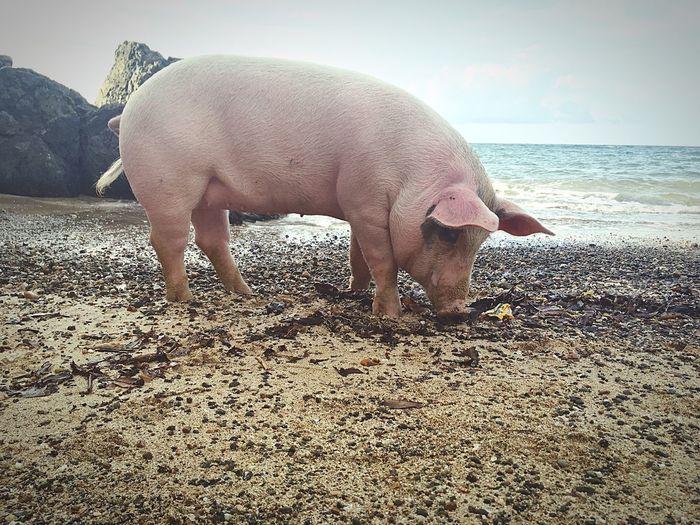 Porsha :) PiggyOnTheBeach First Eyeem Photo MyGirlfriendsPiggy