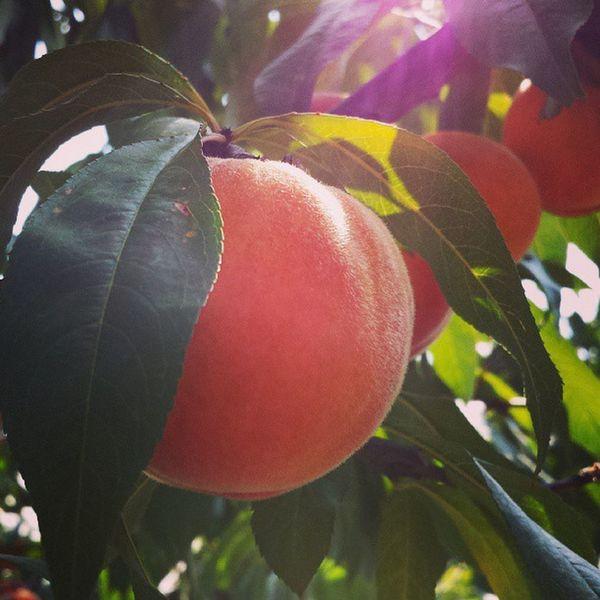 Peach :) Hodmezovasarhely Summer