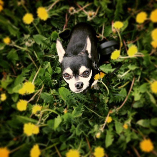 Flower Dog Dog Chiuahua Flowers Summer Dogs