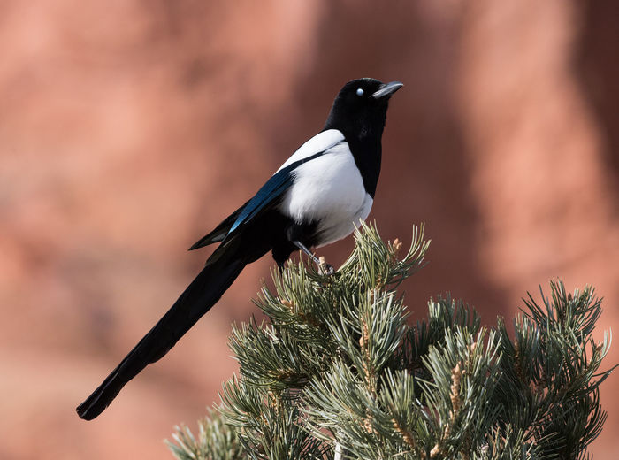 Jan 2019 - Black-billed Magpie (Pica hudsonia) at Garden of the Gods Park; The black-billed magpie, also known as the American magpie, is a bird in the crow family that inhabits the western half of North America, from Colorado, to southern coastal Alaska to northern California, northern Nevada, northern Arizona, northern New Mexico, central Kansas, and Nebraska. Bird Animal Wildlife Animals In The Wild Animal Themes One Animal Focus On Foreground No People Day Nature Tree Outdoors Black Color Close-up Branch Pine Tree Side View Coniferous Tree Plant Perching Winter Wildlife Rocky Mountains USA