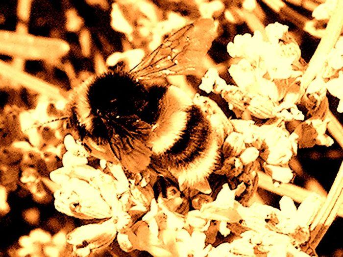 Bumblebee sepia