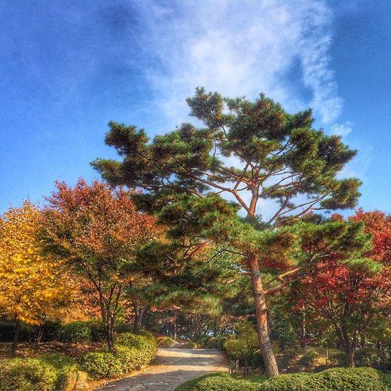 광교사 소나무 , 가을 바쁜듯, 한가한듯... Pine Autumn