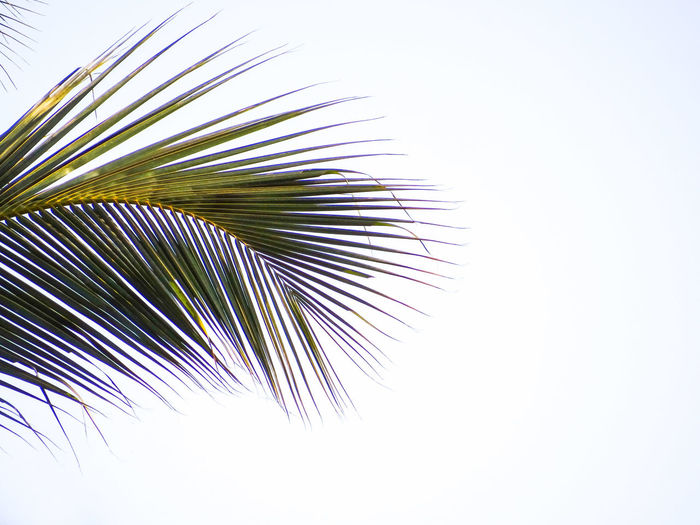 COCONUT PALM TREE FROND Clear Sky Lush - Description Lush Foliage Nature Coconut Palm Tree Frond Fanned Out Studio Shot Multi Colored Close-up Sky Frond Leaf Vein Coconut Palm Tree Tropical Tree Leaves Tropical Climate Coconut