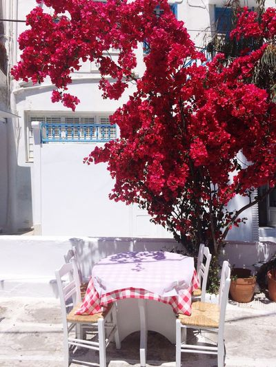 Mykonos Greece Thisplace In Love Mykonos Island Tree Plant Built Structure Building Exterior Architecture Red No People Flower