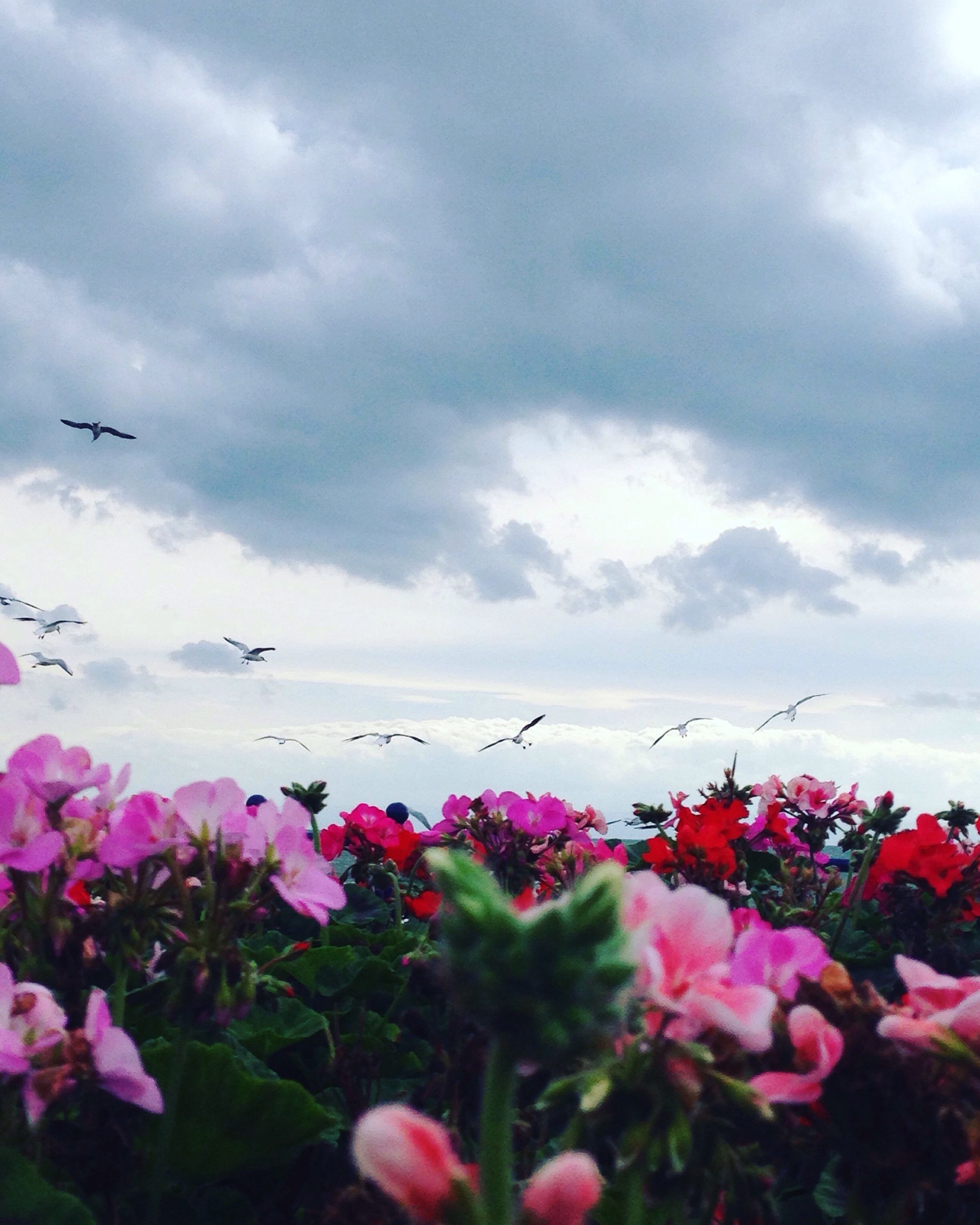 flower, freshness, fragility, beauty in nature, growth, cloud - sky, nature, pink color, sky, petal, plant, flower head, cloud, scenics, in bloom, tranquility, cloudy, tranquil scene, day, blooming, springtime, blossom, botany, cloudscape, outdoors, red, multi colored, colorful